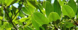 DSM-Förderungen Mangrovenschutz