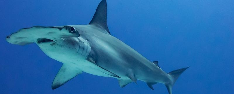 Bogenstirn-Hammerhaie