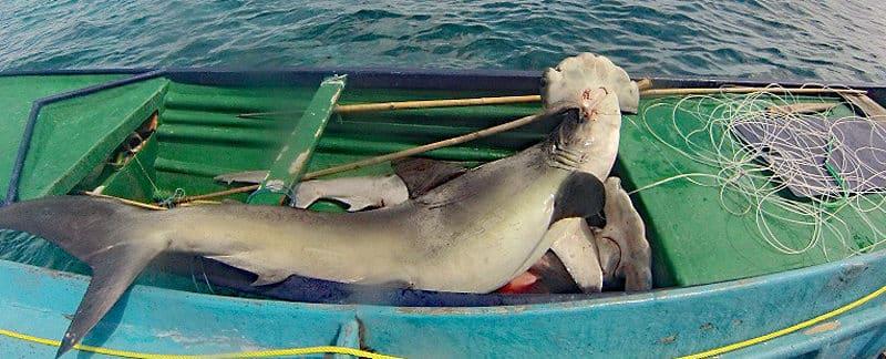 Toter Hammerhai auf Fischerboot.