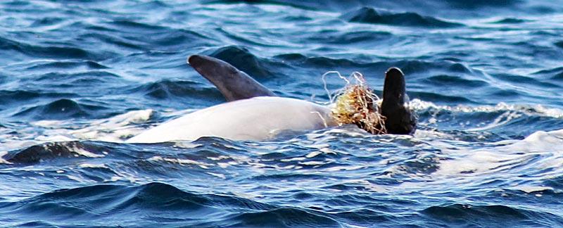 Adria-Delfin mit eingewachsenen Netzresten.
