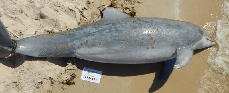 Toter Delfin, Opfer einer Red Tide.