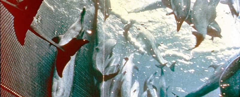 Delfine gefangen im Ringwadennetz beim Thunfischfang.