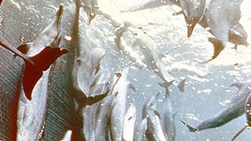 Delfine gefangen in einem Ringwadennetz beim Thunfischfang. Foto: Sam LaBudde.