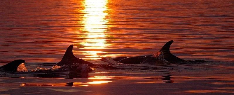 Eine Gruppe Delfine im Abendrot.
