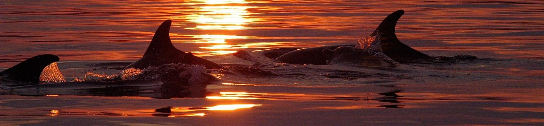 Adria-Delfine bei Sonnenuntergang.