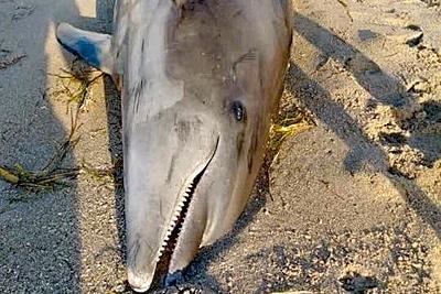 Die Red Tide wurde diesem Delfin zum Verhängnis.