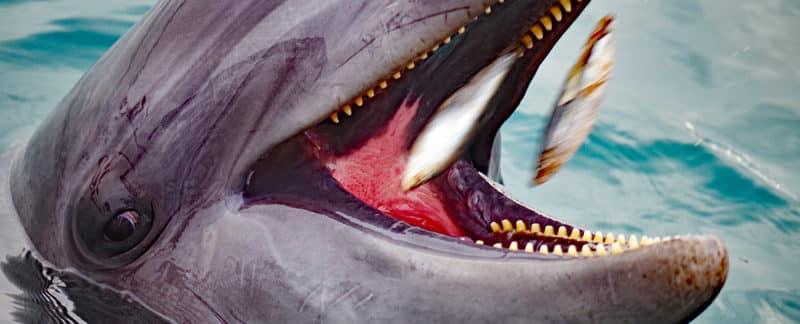 Zwei Fische werden in das geöffnete Maul eines Großen Tümmlers geworfen.