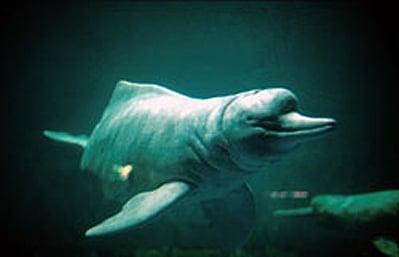 Amazonas Flussdelfin.