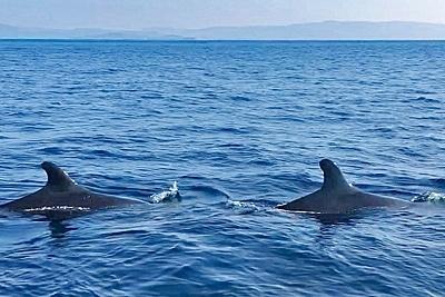Zwei Kleine Schwertwale vor der türkischen Küste.
