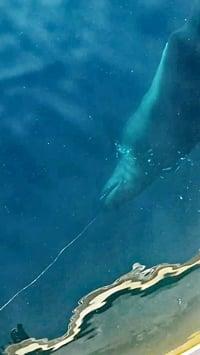 Ein Kleiner Schwertwal vor der türkischen Küste spielt mit einer Langleine.