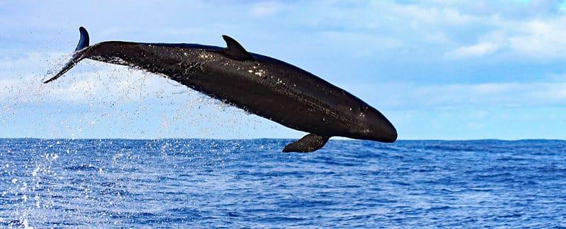 Kleiner Schwertwal springt.