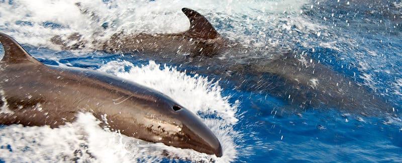 Zwei Kleine Schwertwale jagen über die Wellen.