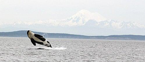 Vergiftete Delfine im Ärmelkanal: Springender Orca.