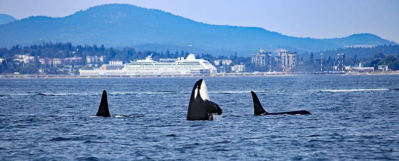 Mehrer Orcas vor einem Hafen.
