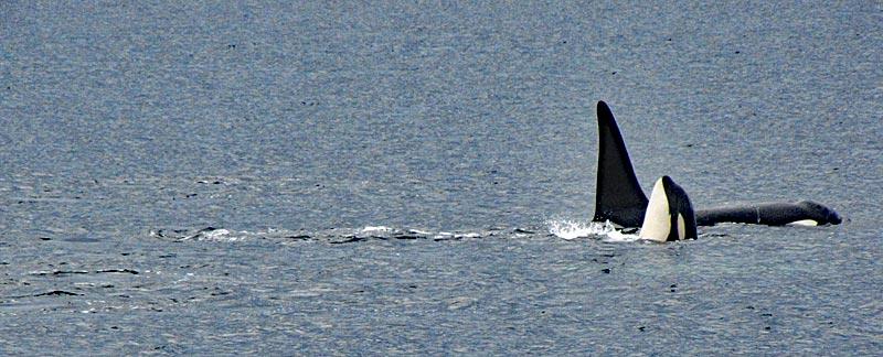Zwei Orcas einer hebt Kopf aus dem Wasser.
