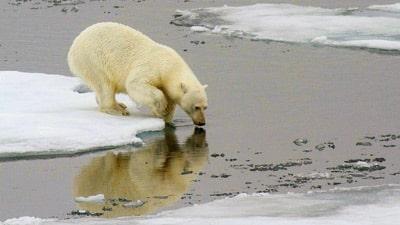 Eisbär betrachtet von Eisscholle sein Spiegelbild im Wasser.