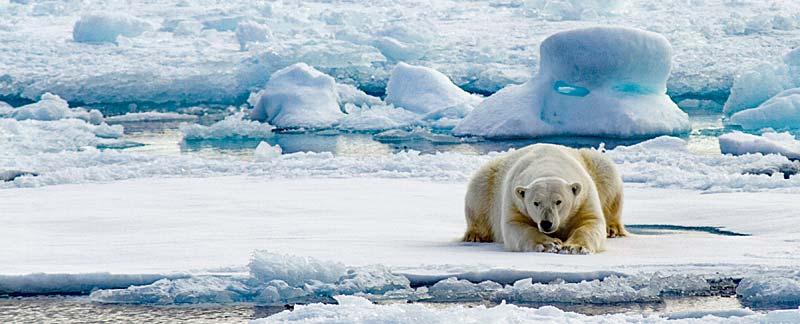 Eisbär liegt auf Eisscholle geduldig auf das Auftauchen einer Robbe wartend.