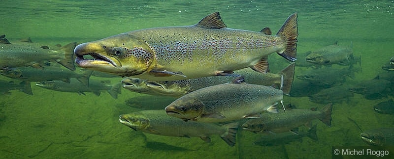 Lachs - quo vadis | The Atlantic salmon project
