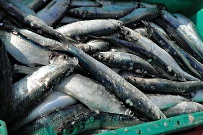Fisch des Jahres 2021 ist der Hering: Eine Ladung Heringe in einer Fischkiste.