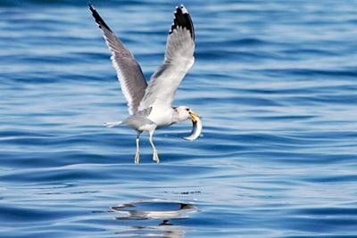 Der Fisch des Jahres ist auch bei Möven sehr beliebt: Möve mit Hering im Schnabel.