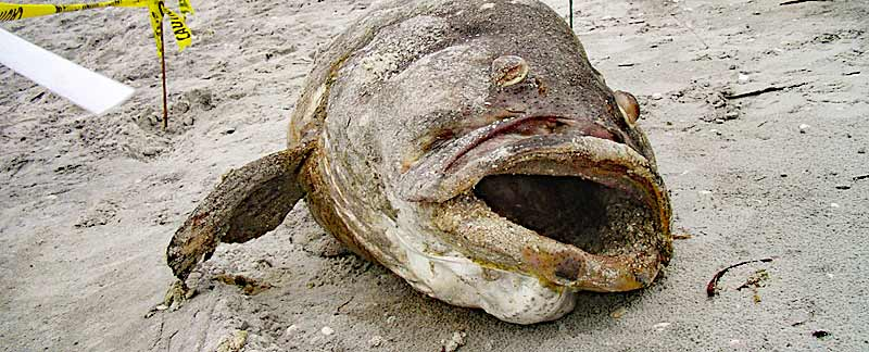 Opfer einer Red Tide: Vom Aussterben bedrohter Judenfisch oder Goliath grouper (Epinephelus itajara).