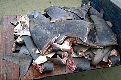 Abgeschnittene Haiflossen liegen auf einer Karre.