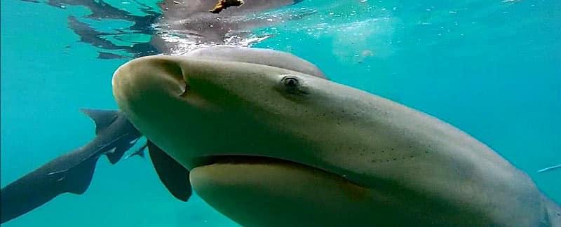 Bullenhai.