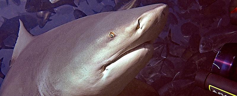 Forschungsarbeit über Bullenhaie
