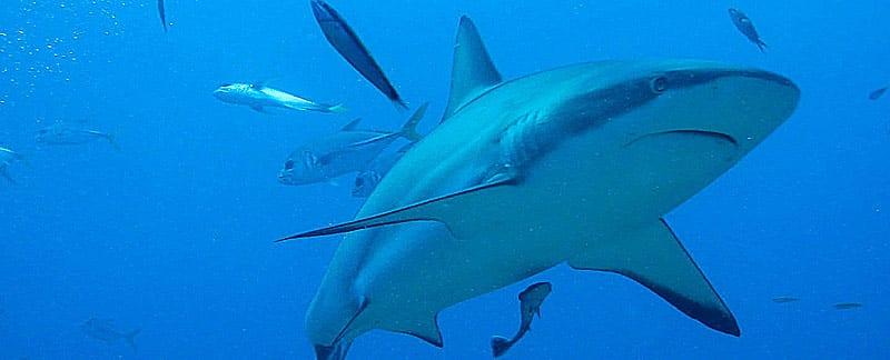 Hai schwimmt vor der Kueste von Honduras.