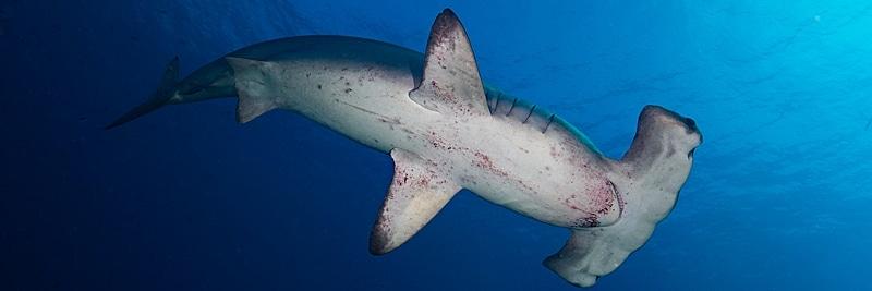 Indonesien: Bogenstirn-Hammerhaie