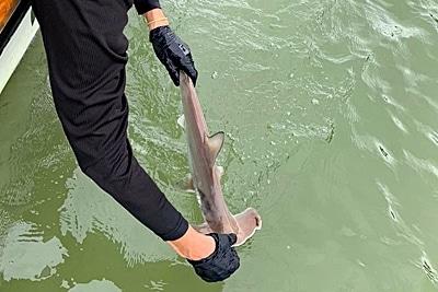 Illena Zanella setzt einen jungen Bogenstirn-Hammerhai frei im Golfo Dulce - wikimedia