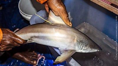 Probennahme an einem kleinen Schwarzspitzenhai.