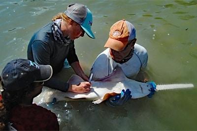 NOAA Forscher markieren einen Sägefisch / Sägerochen.