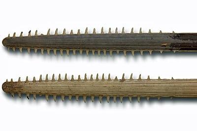 Ober- und Unterseite des Rostrums eines australischen Sägerochens.