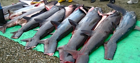 Haikörper liegen an Land, bereit zum Finning.