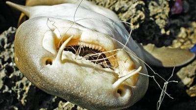 Toter Ammenhai mit Netzresten im Maul.