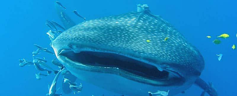 Walhai mit halb geöffnetem Maul, Seychellen.
