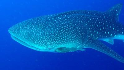 Walhai unter Wasser bei Belize.