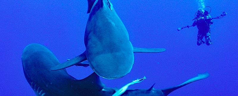Zwei Bullenhaie mit einem Taucher. Foto: Fiona Ayerst/Marine Photobank.
