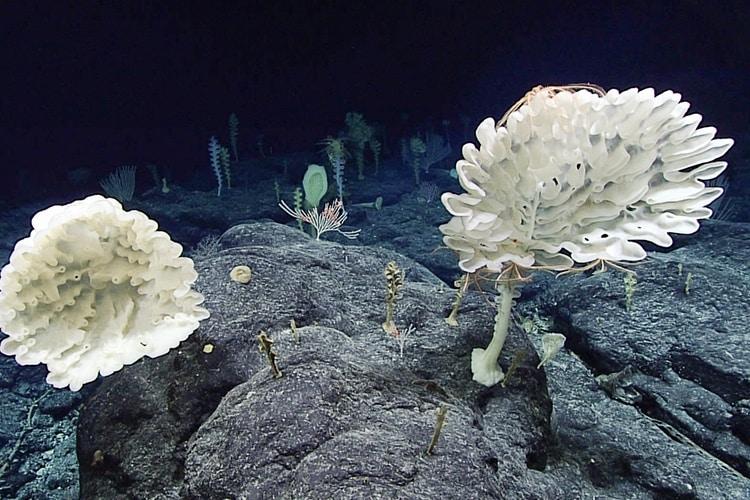 Farreid-Glas-Schwämme im Pacific Remote Islands Marine National Monument.