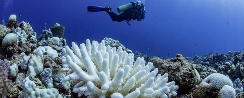 Korallenbleiche: Korallen verhungern bevor sie bleichen und sterben.