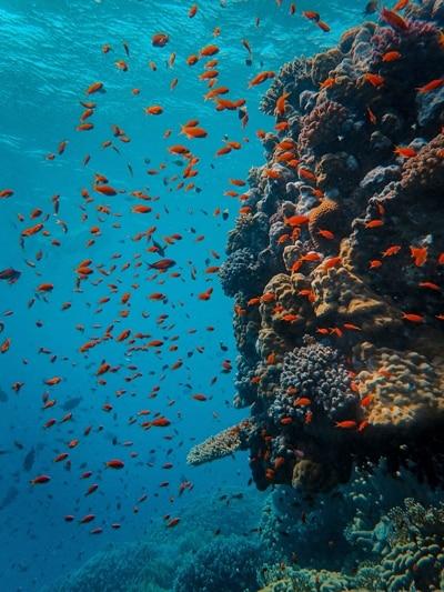 Korallenriff mit vielen roten Fischen.