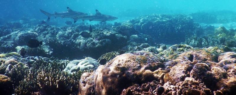 Zwei Haie schwimmen über einem Korallenriff.