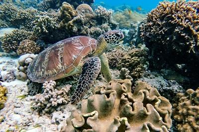 Meeresschildkröete im Korallenriff.