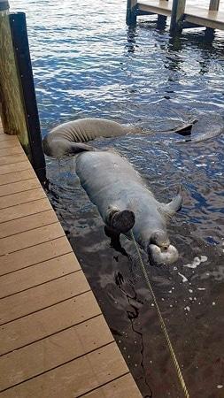 Opfer der Red Tide: Zwei tote Manatis.