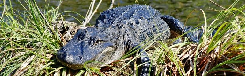 Alligatoren leben in den Mangrovenwäldern der Florida Everglades.