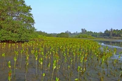 Aufforstung von Mangroven.