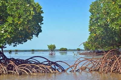Mangroven siedeln auf dem Riffdach, Fidschi.