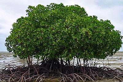 Mangrovenbaum auf Riffdach in Fidschi.