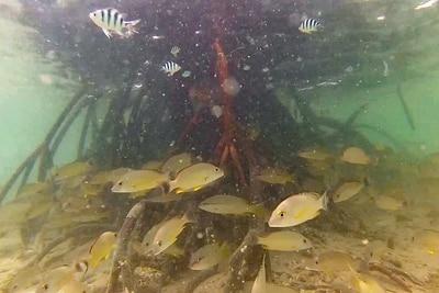Viele kleine Fische nutzen Mangrovenwurzeln als Versteck.